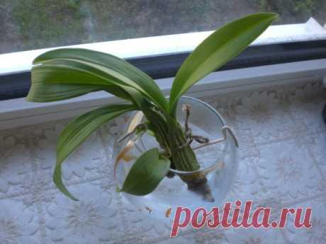 Орхидея Камбрия: виды, уход и пересадка цветка в домашних условиях