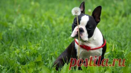 Бостон-терьер (Бостонский терьер): фото собаки, характеристики, цена и уход