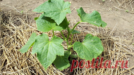 Простая подкормка для огурцов, благодаря которой растения быстро идут в рост | Любимая дача | Яндекс Дзен