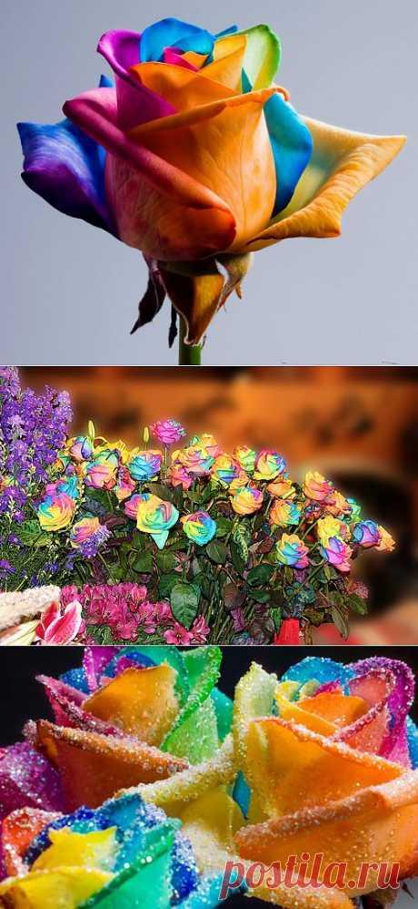 Радужные розы. Секрет окраски каждого лепестка этой розы в свой цвет голландский ботаник Петер ван де Веркен сохраняет в тайне, хотя известно, что при росте роз используется шприцевание, а не добавление краски в грунт, как это делается при выращивании синих роз.