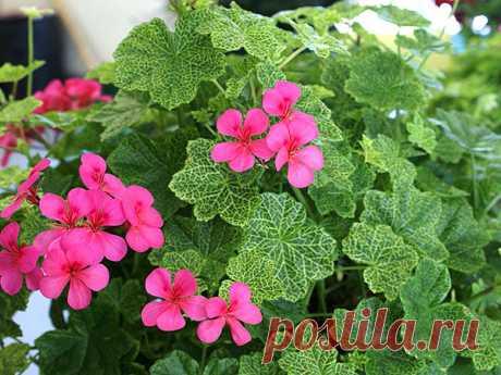 Пеларгония Плющелистная: уход, размножение, выращивание из семян в домашних условиях