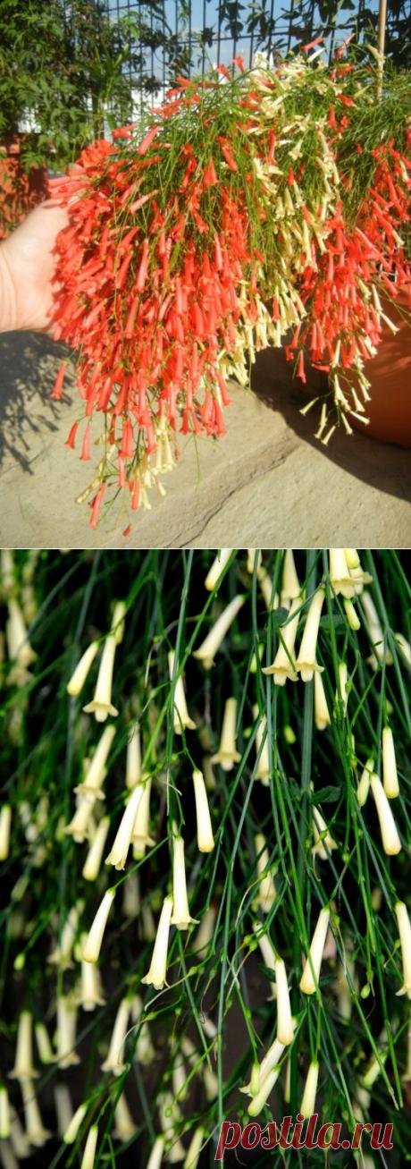 Растение-фейеверк