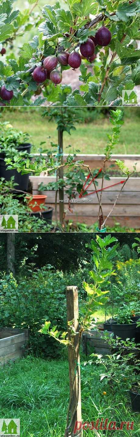 Штамбовый крыжовник | Дачная жизнь - сад, огород, дача
