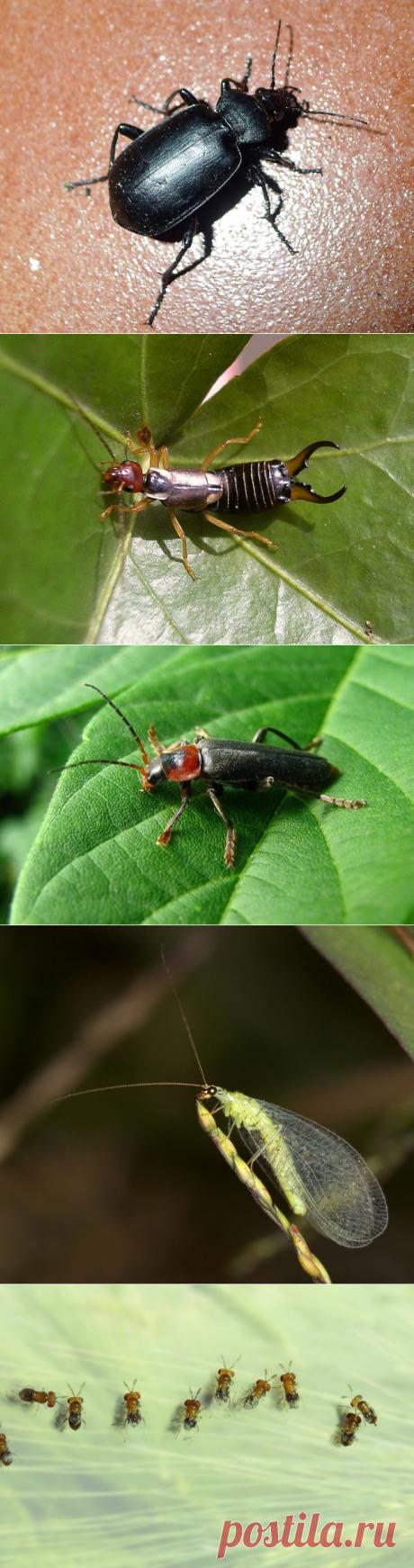 Полезные жуки, которых не стоит истреблять в саду, огороде и на цветах | Болезни и вредители (Огород.ru)