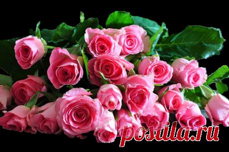 Розы клипарт