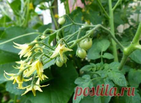 Приумножаем завязь на томатах в разы. Готовьте емкости под небывалый урожай. Делюсь проверенным рецептом | Жизнь огродника | Яндекс Дзен