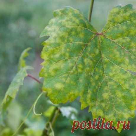 Белый налет на листьях винограда – что это и как бороться | Садовод (Усадьба)