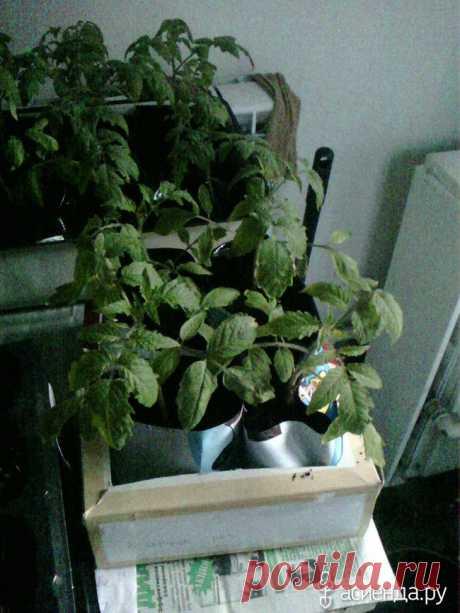 Погибает рассада помидор. Как помочь растениям?: Группа Практикум садовода и огородника