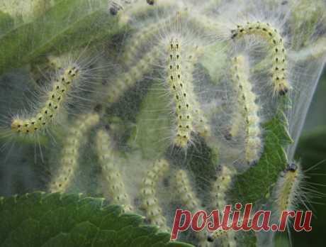 На Волині небезпечний шкідник вражає сади Волинян попереджають про поширення одного з найнебезпечніших карантинних організмів – американського білого метелика.
