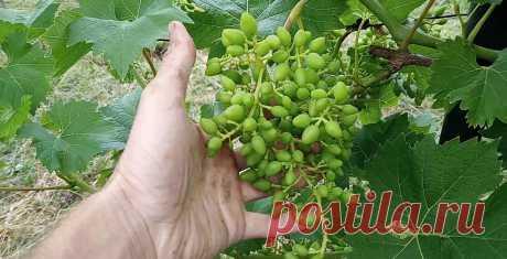 Як правильно доглядати за виноградом в серпні, щоб осінню зібрати гарний та великий врожай Правильний догляд за виноградником у серпні, гарантує отримання багатого врожаю великих та солодких ягід.    Полив винограднику.    На початку серпня, поливайте кущі винограду як завжди. З 15 числа припиніть поливати взагалі, якщо розпочнеться сезон дощів. Коли ж стоїть