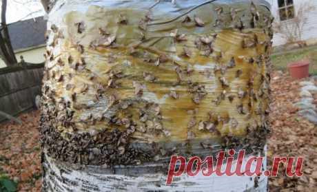"""Ловчий пояс для защиты деревьев: когда накладывать и снимать, как сделать самому   Опытные садоводы, стремящиеся свести количество """"химии"""" в своем саду к минимуму, пользуются ловчими поясами. Эти хитрые ловушки позволяют не допустить в кроны деревьев вредных насекомых и значительн…"""