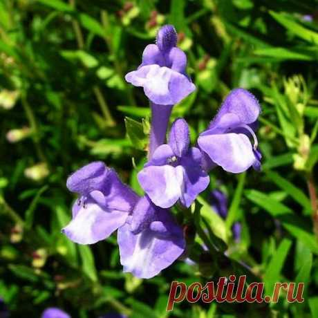 Shlemnik is Baikal: medicinal properties and features of cultivation in the conditions of a garden Shlemnik Baikal (scutellaria baicalensis) is rather known plant from family yasnotkovy and under natural conditions the regions of Baikal, the territory of Mongolia, Korea and Northern China, and also Priamurye and Primorsky Krai became an area of distribution of a look.