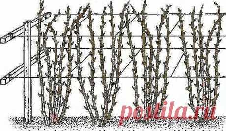 Нет малины на малине, почему? или Как получить небывалый урожай малины?  Первое и главное. Малину надо обязательно выращивать только на шпалере, это доказано опытом миллионов. При посадке ровными рядами, при установке столбов и проволоки ваша малина каждый год способна давать в 6-8 раз больше ягод и при этом вы получаете максимально возможное качество ягод. Все ваши усилия теряют смысл, если ваша зелёная фабрика (растение малины) не способна проявить свои природные преимущ...