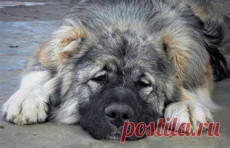 """Собака у сакли В Ставропольском крае работает питомник """"Домбай-Ульген"""" — единственный на Северном Кавказе, специализирующийся на исконной для этих мест породе собак"""