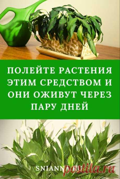 Полейте растения этим средством и они оживут через пару дней Если ваши любимцы чахнут на глазах или вы не могли ухаживать за ними длительное время по причине отпуска, нужно всего лишь полить их живительным бальзамом. Его легко приготовить самому. ➡️ Кликайте на фото, чтобы прочитать статью