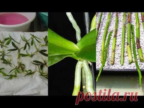 РАЗМНОЖЕНИЕ ОРХИДЕИ - 2 .СЕМЕНА .#ЧЕРЕНКОВАНИЕ_ОРХИДЕИ. ДЕТКИ ОРХИДЕИ #orchids #7 #oldenburg_ru - YouTube