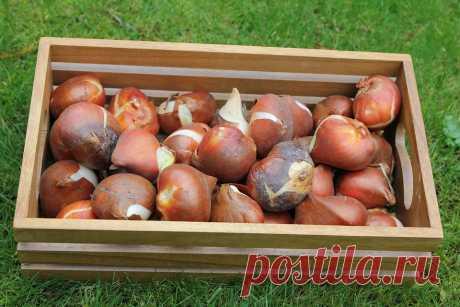 Как выбирать луковицы тюльпанов, чтобы получить красиве клумбы Как выбирать луковицы тюльпанов, чтобы получить красивый цветник, волнует многих садоводов. Ведь от качества посадочного материала, будет зависеть