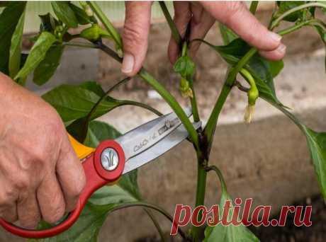 Простой агротехнический прием для перца: плоды будут расти пучками | Наша Дача | Яндекс Дзен