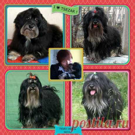 TSVET HIBIN kennel    RKF - FCI Professional dog kennel breed Russkaya Tsvetnaya Bolonka
