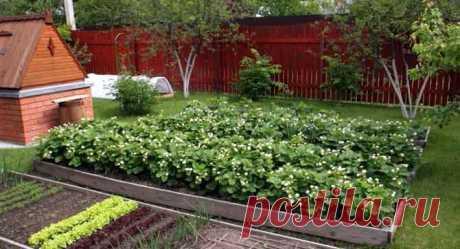 Чем подкормить клубнику при цветении Все любят садовую клубнику и с нетерпением ждут первый урожай.