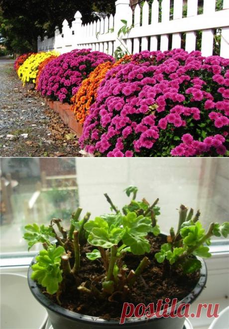 Грамотный уход за хризантемами поздней осенью