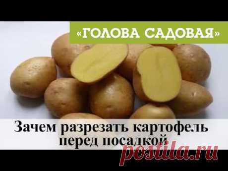 Голова садовая - Зачем разрезать картофель перед посадкой