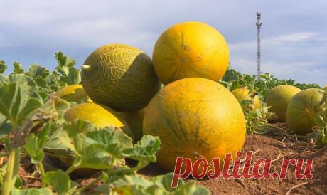 Новый эффективный способ выращивания бахчи   ОГОРОДНИЦА ЮЛИАННА   Яндекс Дзен