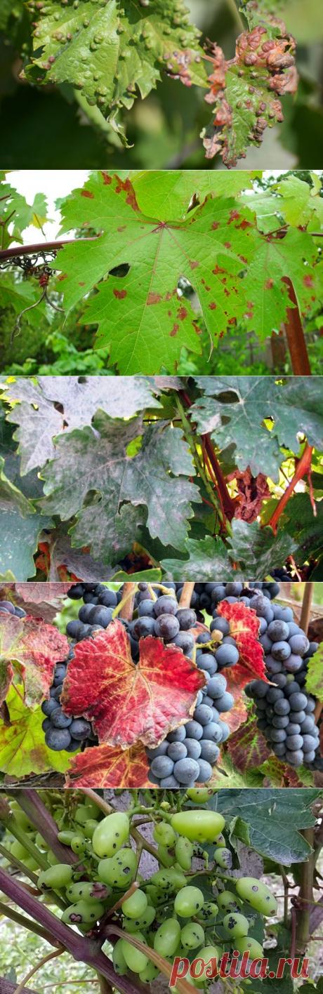 Болезни винограда – фото и чем лечить милдью, бактериальный рак, мраморность листьев, хлороз, антракоз, некроз побегов и другие заболевания