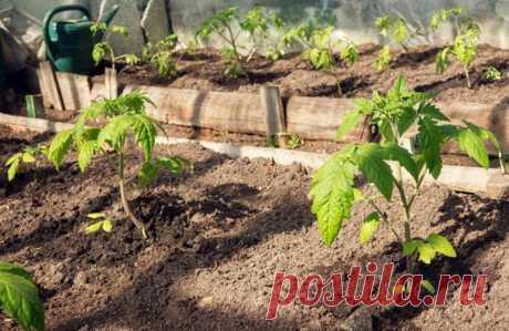 Почему желтеют, скручиваются, сохнут листья у рассады помидор, и как устранить проблему: