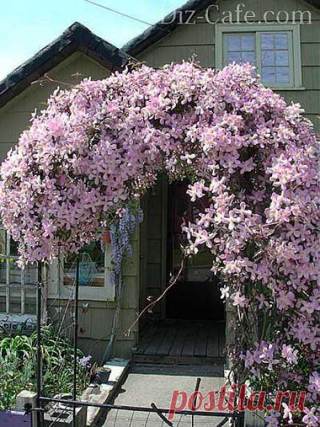Лианы для сада — обзор наиболее неприхотливых сортов   Самоцветик