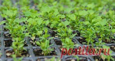Выращивание из семян листового сельдерея — правила и рекомендации