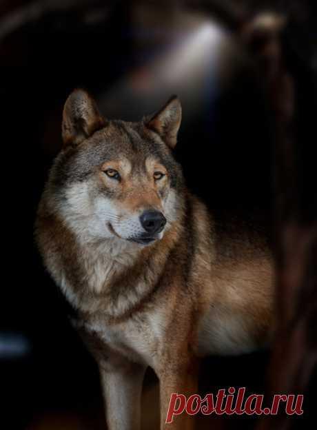 Загадочный волчара в кадре Олега Богданова: nat-geo.ru/community/user/163720