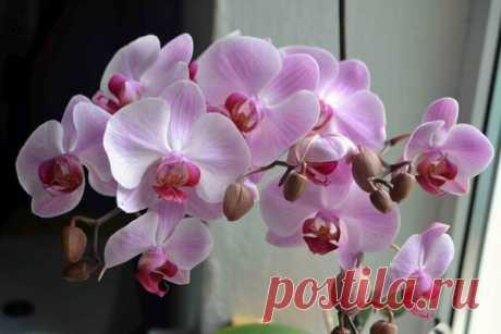 Орхидея сразу зацвела | Секреты садовода и огородника | Яндекс Дзен