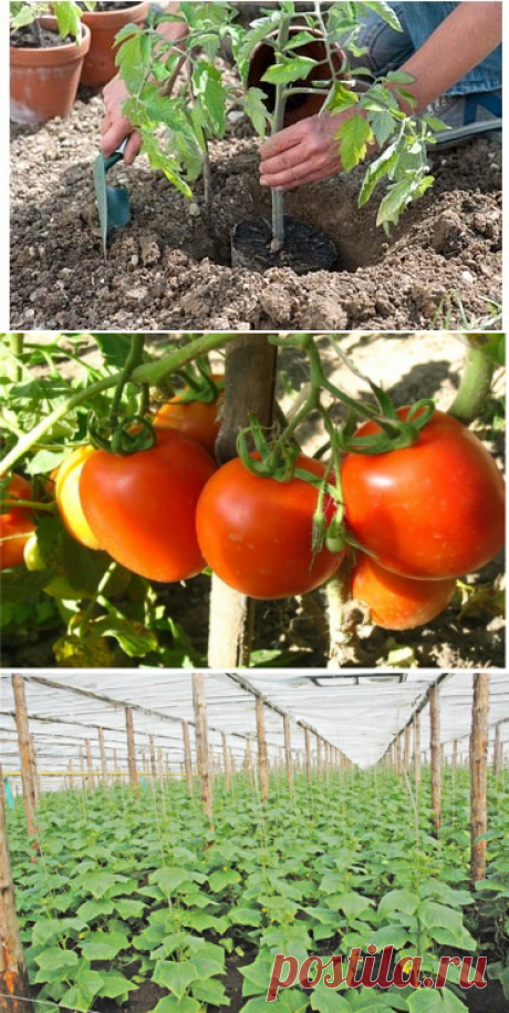 Несколько секретов в выращивании томатов и огурцов в открытом грунте   GreenHome