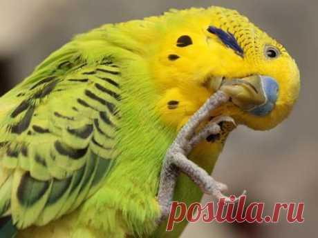 Советы по уходу и содержанию волнистых попугаев - попугай и когти