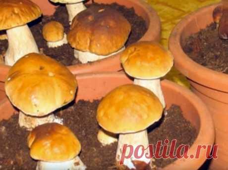 Выращивание белых грибов на подоконнике!   Грибы — неотъемлемый элемент многих вкусных и необычных блюд. Чаще всего мы покупаем их или собираем в лесу. Это приятное занятие, но намного удобнее, когда грибы растут на даче или даже дома. Хотит…
