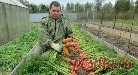 Мой опыт выращивания вкусной и ровной моркови | Огород - сад Медведевых | Яндекс Дзен