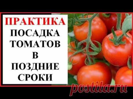 Поздний посев томатов на рассаду