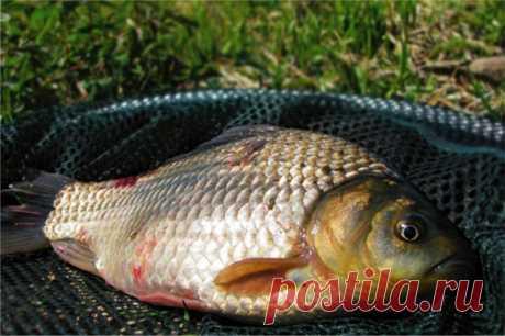 Эффективные приманки для карася в мае | Все о ловле рыбы - Рыбалке.нет