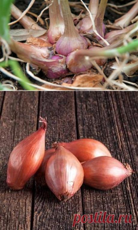 Лук-шалот: тонкости выращивания семейного лука из севка и семян