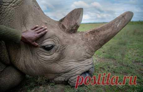 Один из двух последних северных белых носорогов на планете. Фото @ amivitale