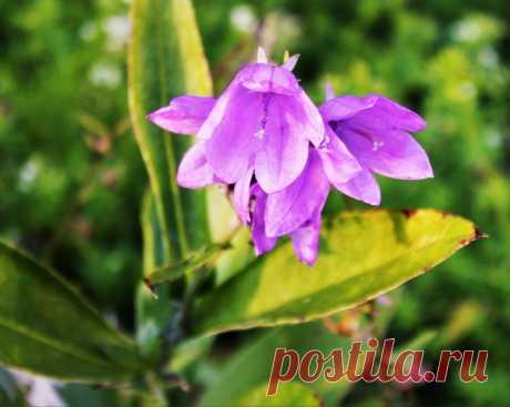 Колокольчики снова расцветают! И холодные дни им нипочем)))💜🌱💜