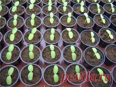Способ выращивания рассады, советы от огородников — 6 соток