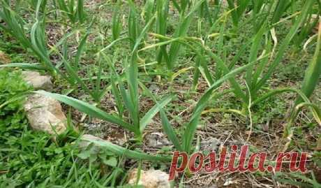 ПОЧЕМУ У ЛУКА И ЧЕСНОКА СВЕТЛЕЮТ КОНЧИКИ ЛИСТЬЕВ? Причин у этого явления может быть несколько. *Кислая почва, надо срочно ее раскислять. Для этого нужно взять 3 ст. ложки кальциевой селитры, развести в 10 л воды и вылить под каждое растение не менее стакана.