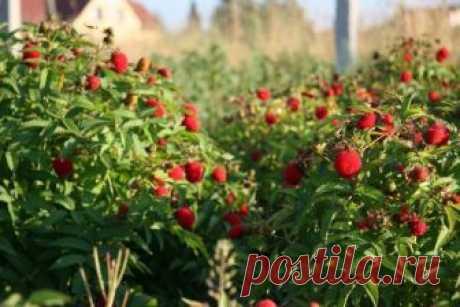 Как ухаживать за кустом малины? Большой урожай закладывается осенью