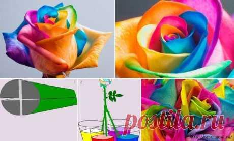 Как окрасить белую розу... для подарка, например | Сами с усами