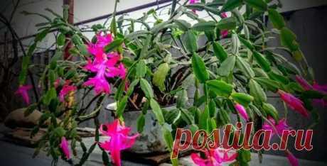 Декабрист: пересадка растения в домашних условиях - Цветочки - медиаплатформа МирТесен