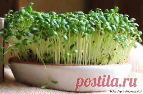 Как вырастить кресс-салат на подоконнике зимой.