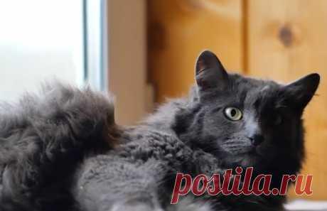 Нибелунг (порода кошек) - фото, описание, характер, особенности ухода, цена