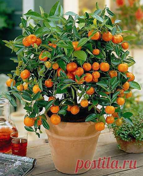 Как вырастить мандарины в домашних условиях. Обсуждение на LiveInternet - Ро | цветы